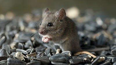 Do Bird Feeders Attract Mice?