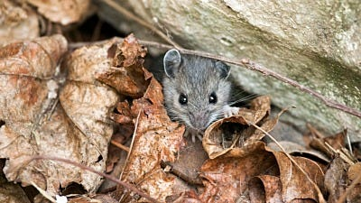 Here's Why Mice Move into Your House in the Fall and Winter