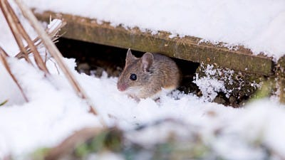 Six Ways to Rodent Proof Your House for Winter