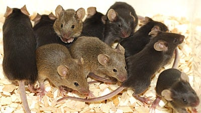 What Humans Can Learn from Calhoun's Rodent Utopia
