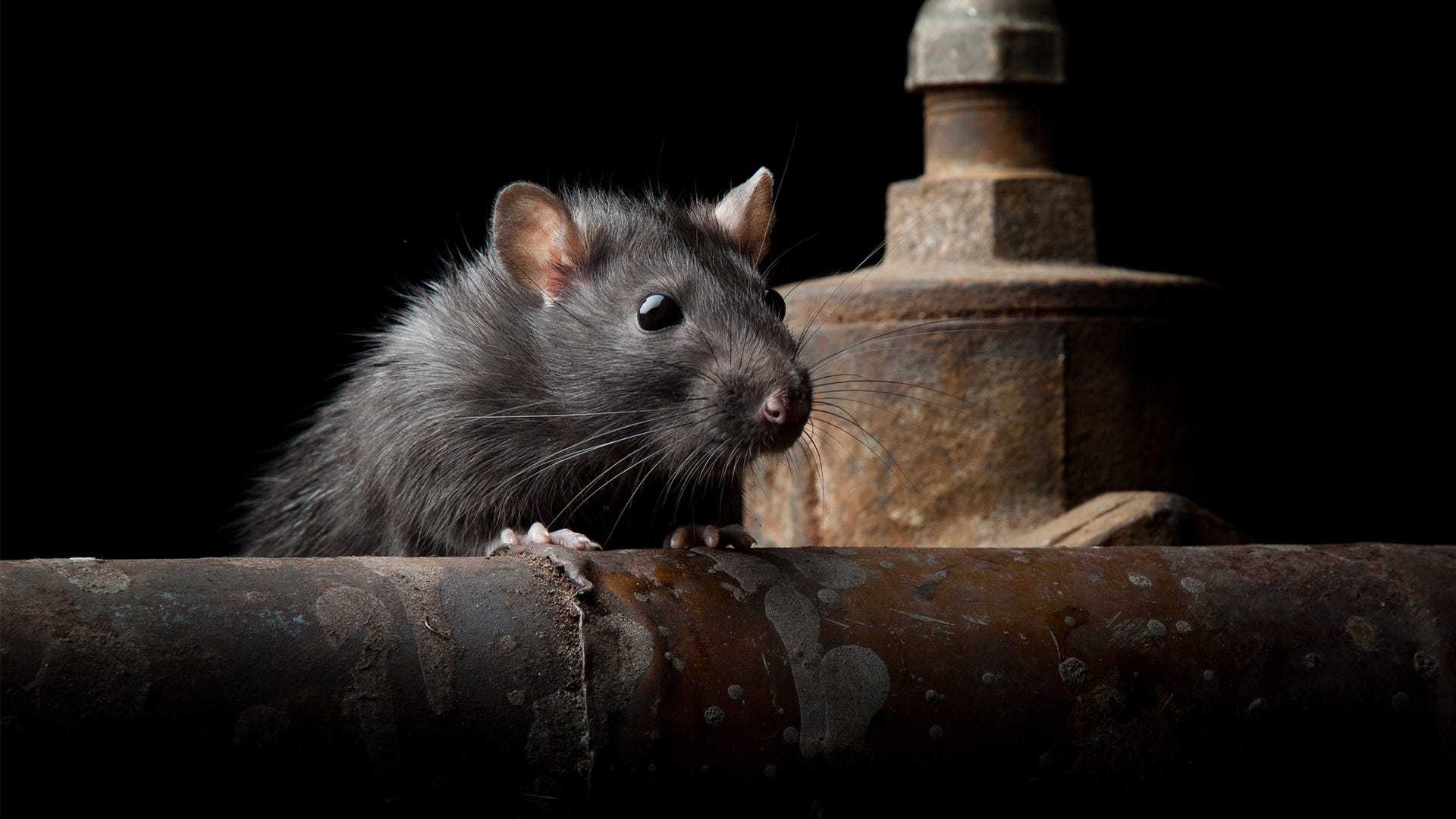 4 Questions to Ask Before Trying to Catch a Rat