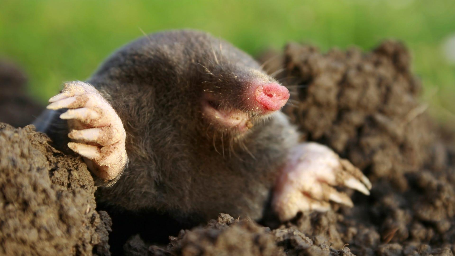Common Myths About Moles