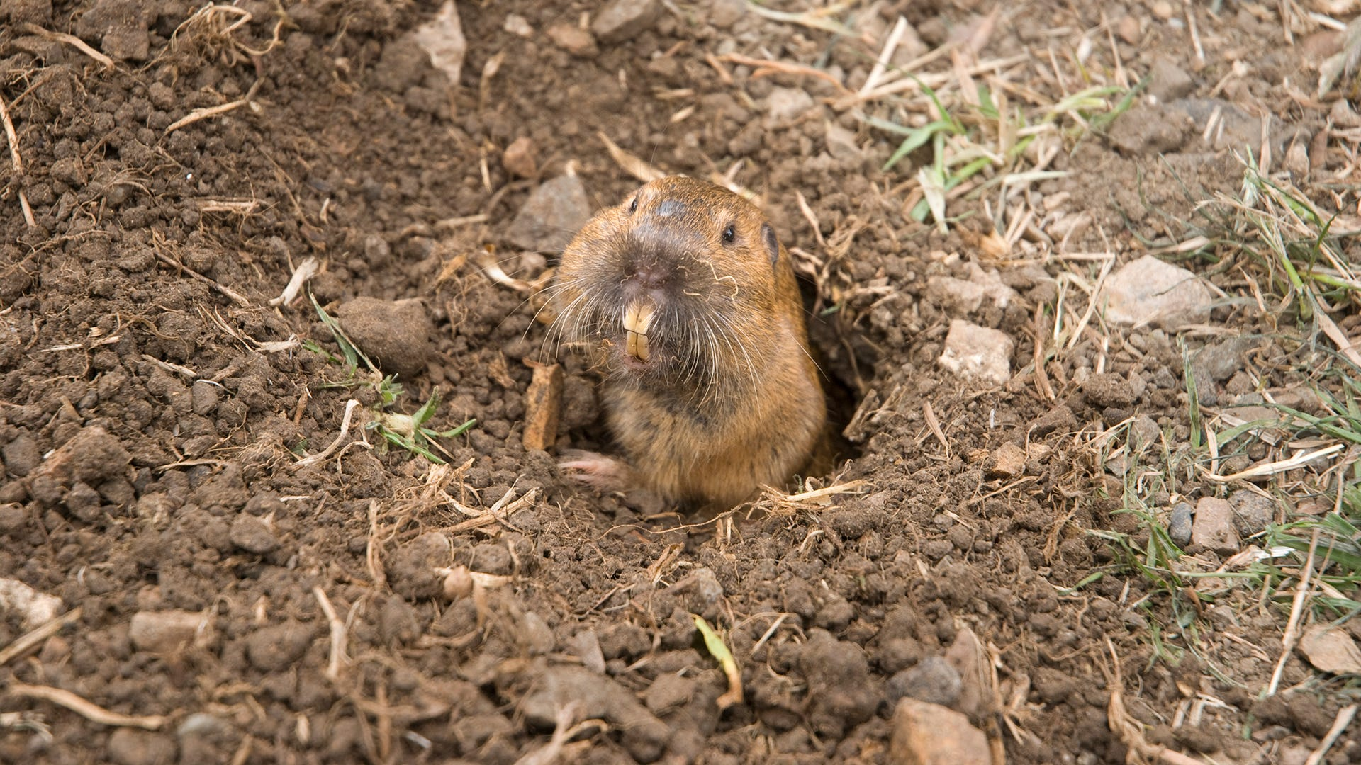 Got Gophers? 3 Gopher Removal Tips