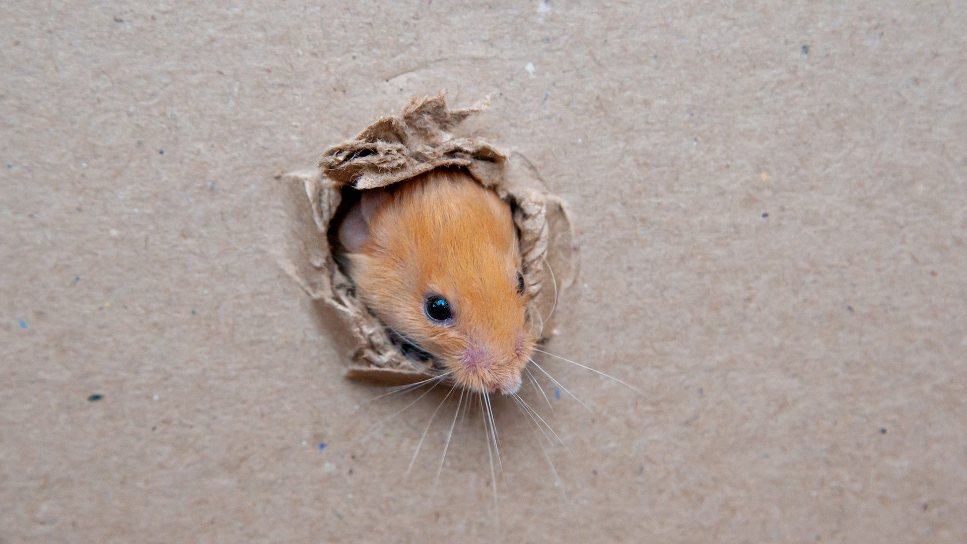 What is Sebum and How Does it Help Mice Invade