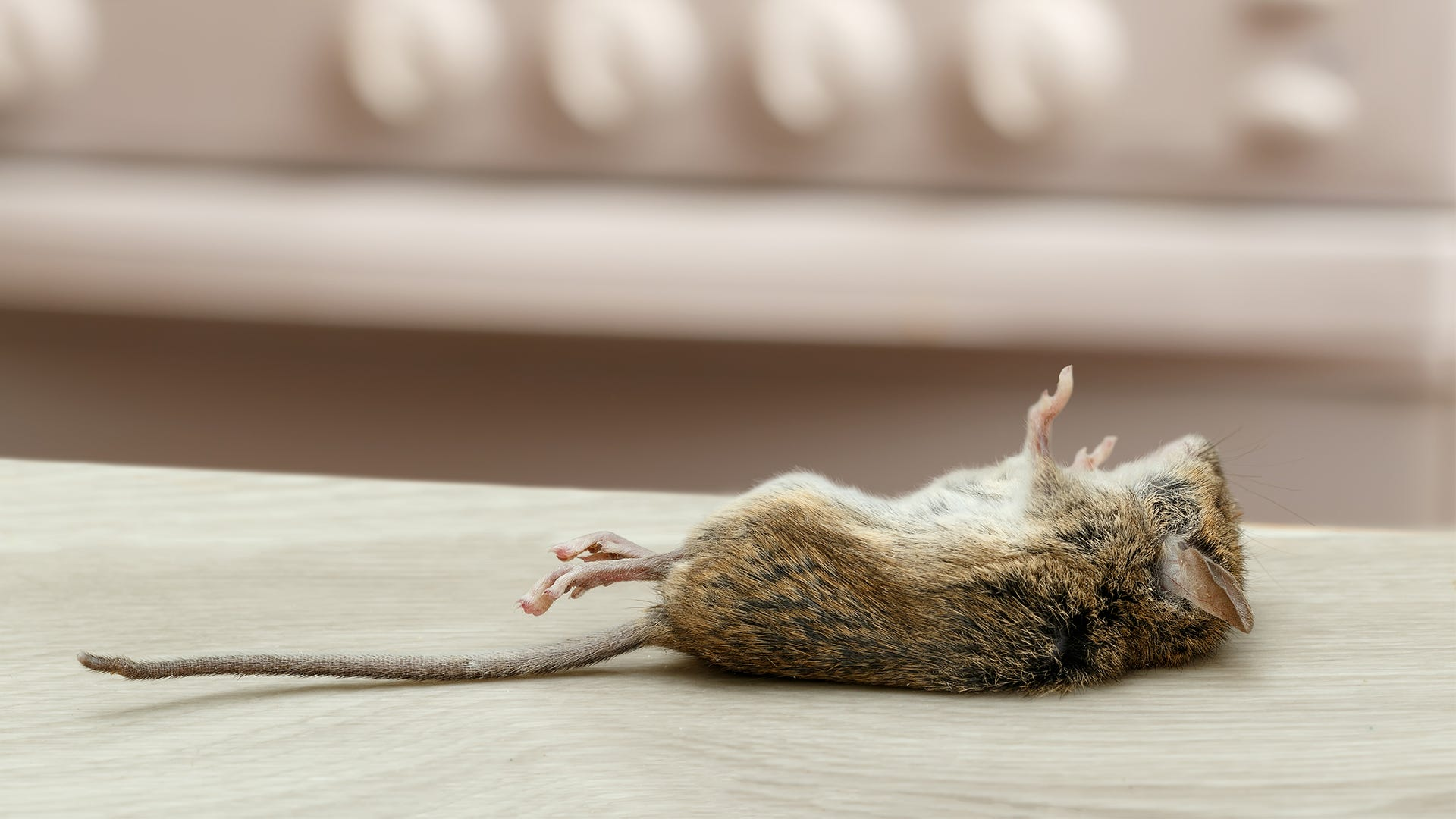 How Do I Dispose of a Dead Mouse?