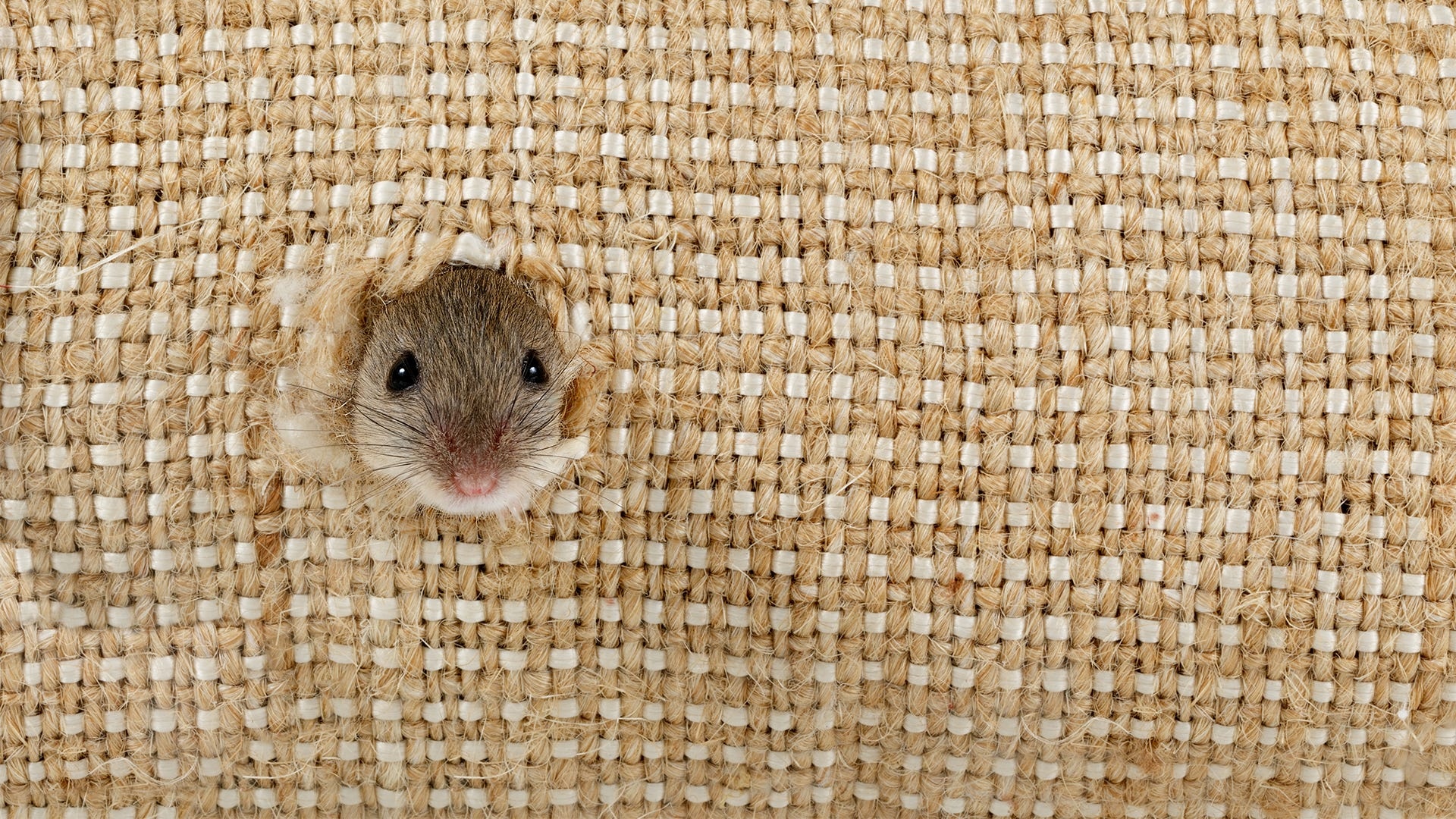 How Do Mice Fit in Such Small Spaces?
