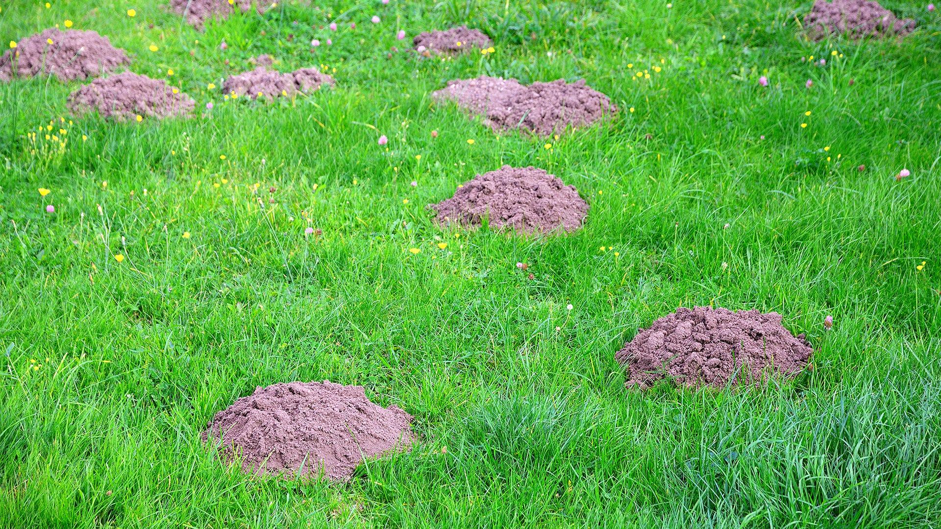 Keep Your Yard Free of Unsightly Molehills