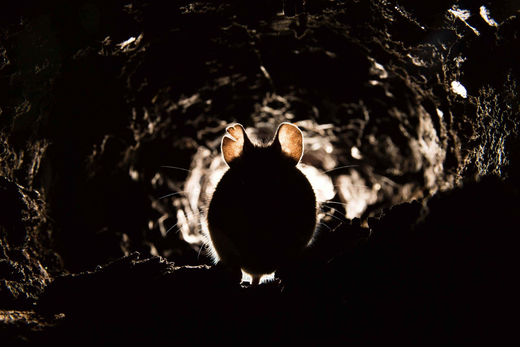 mouse in tunnel infestation