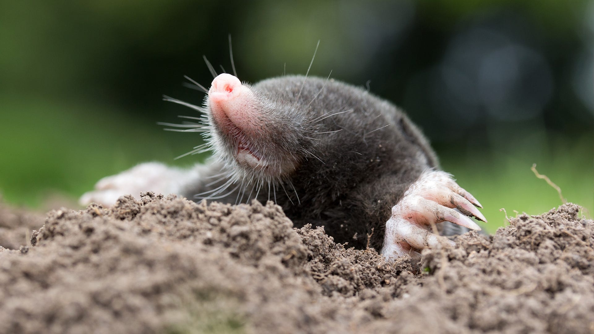 Tips for Identifying Moles, Voles and Gophers