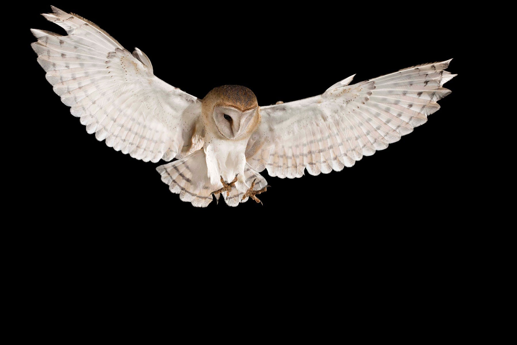 Owl hunting rodents