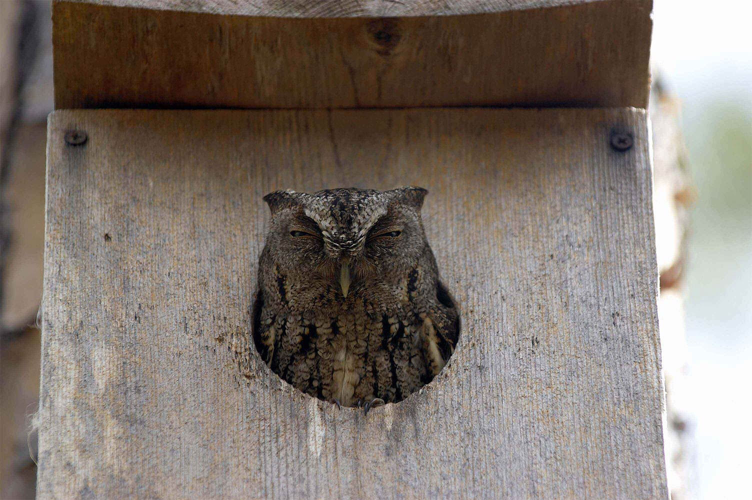 Owl in nest box