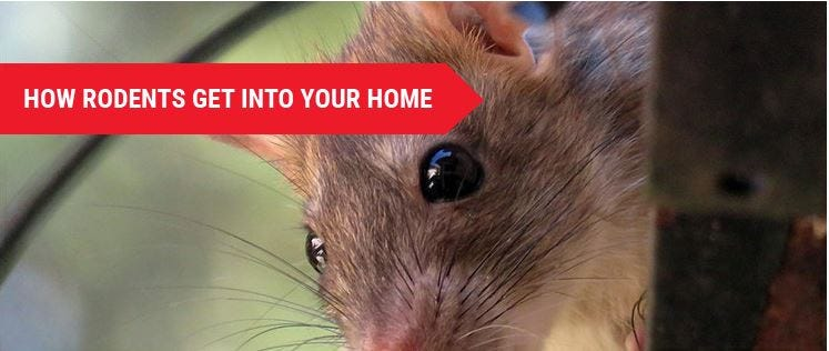 How Rodents Get in Your Home