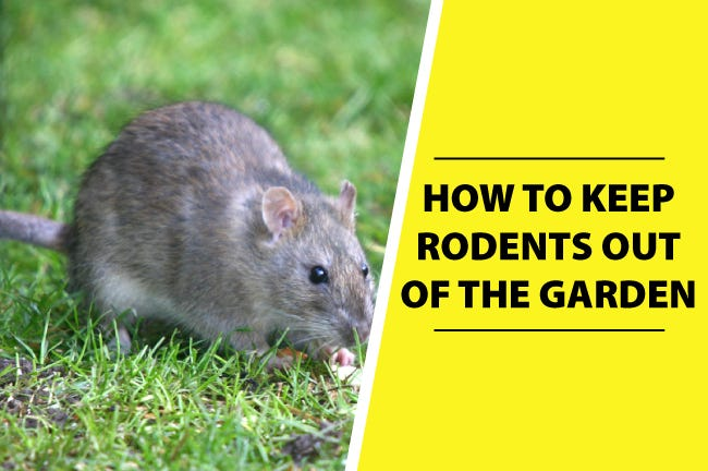 Keep Rodents Out of The Garden