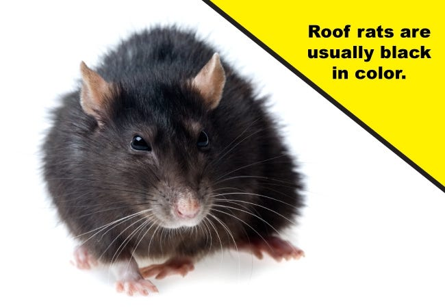 Roof Rats Black in Color
