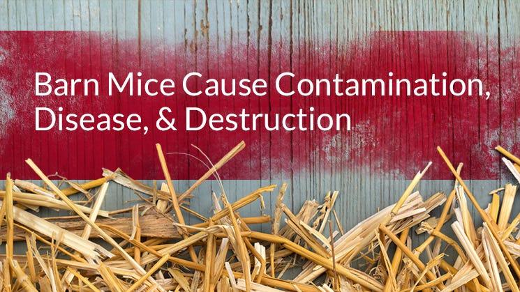 Barn Mice Cause Contamination
