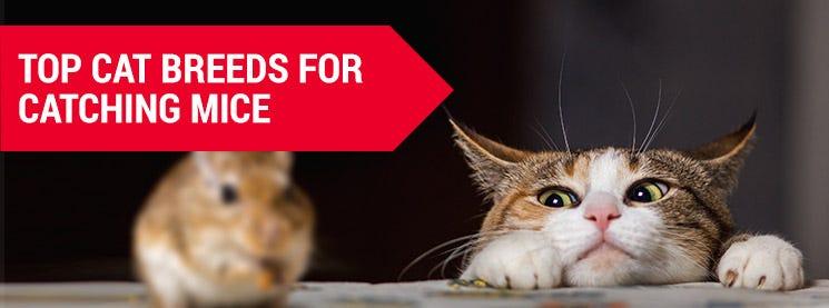 cat breeds to hunt mice
