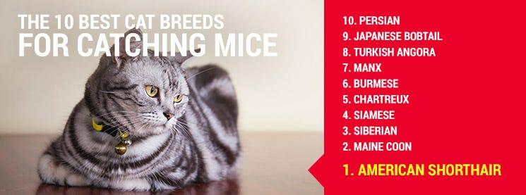 Top cat breeds to hunt mice