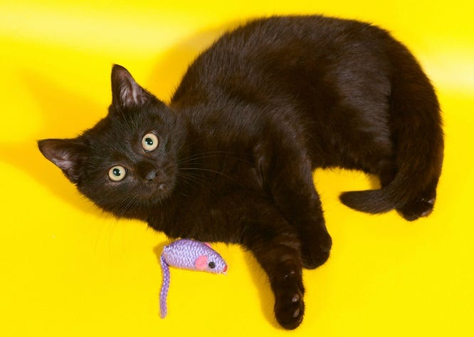 Black kitten lying with mouse on yellow background
