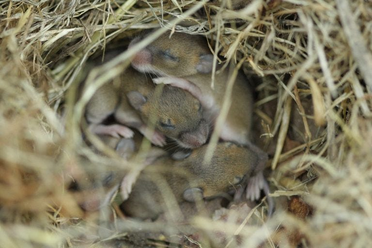 Baby Mice Victor