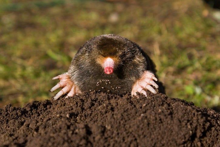 Mole emerging from molehill