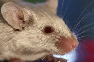 Repel mice with peppermint