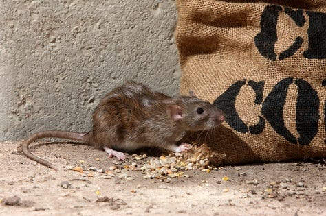 howto catch a rat in the garden