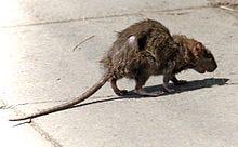Rat in the City