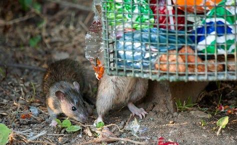best way to catch a rat