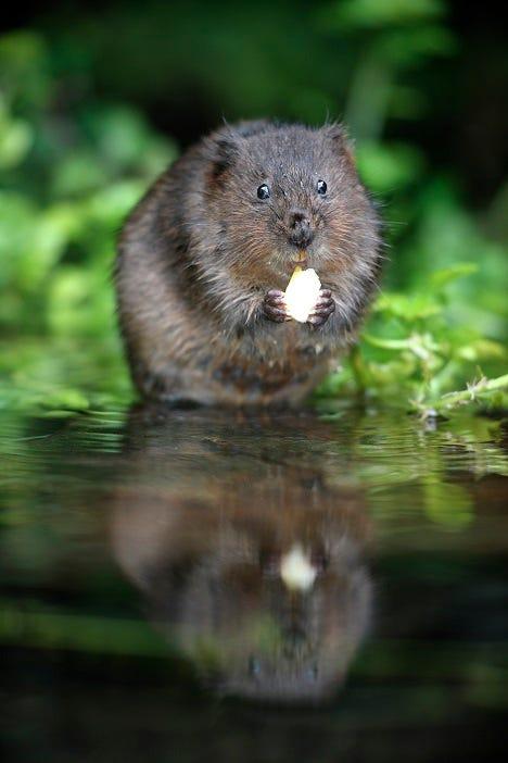 Water vole, Arvicola terrestris, What is a Vole?