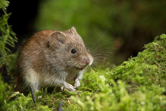 What is a Vole?