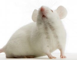 How to repel mice with peppermint Mouse Victor Pest