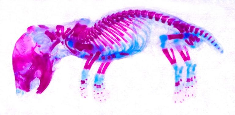 Victor Mouse X-ray